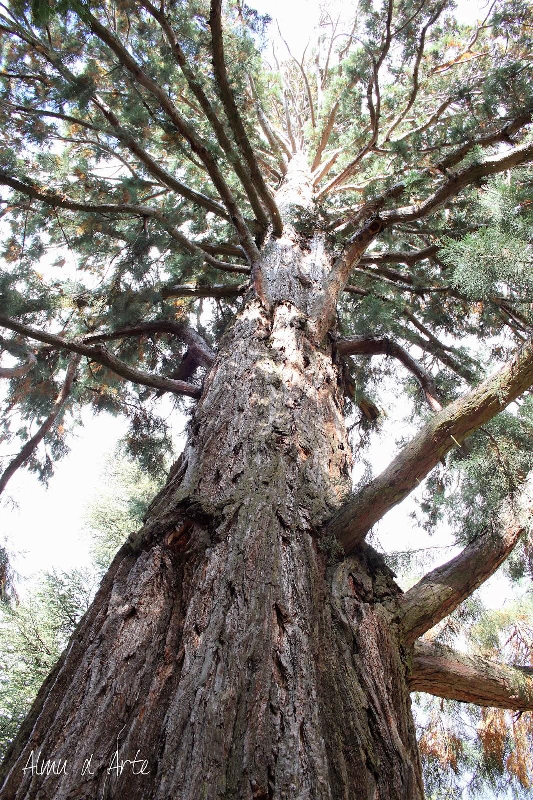 Árboles milenarios de los Jardines de La Granja
