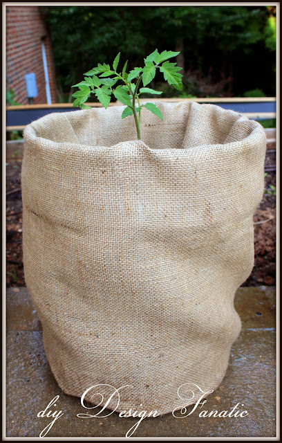 growing tomatoes, diy Design Fanatic, burlap