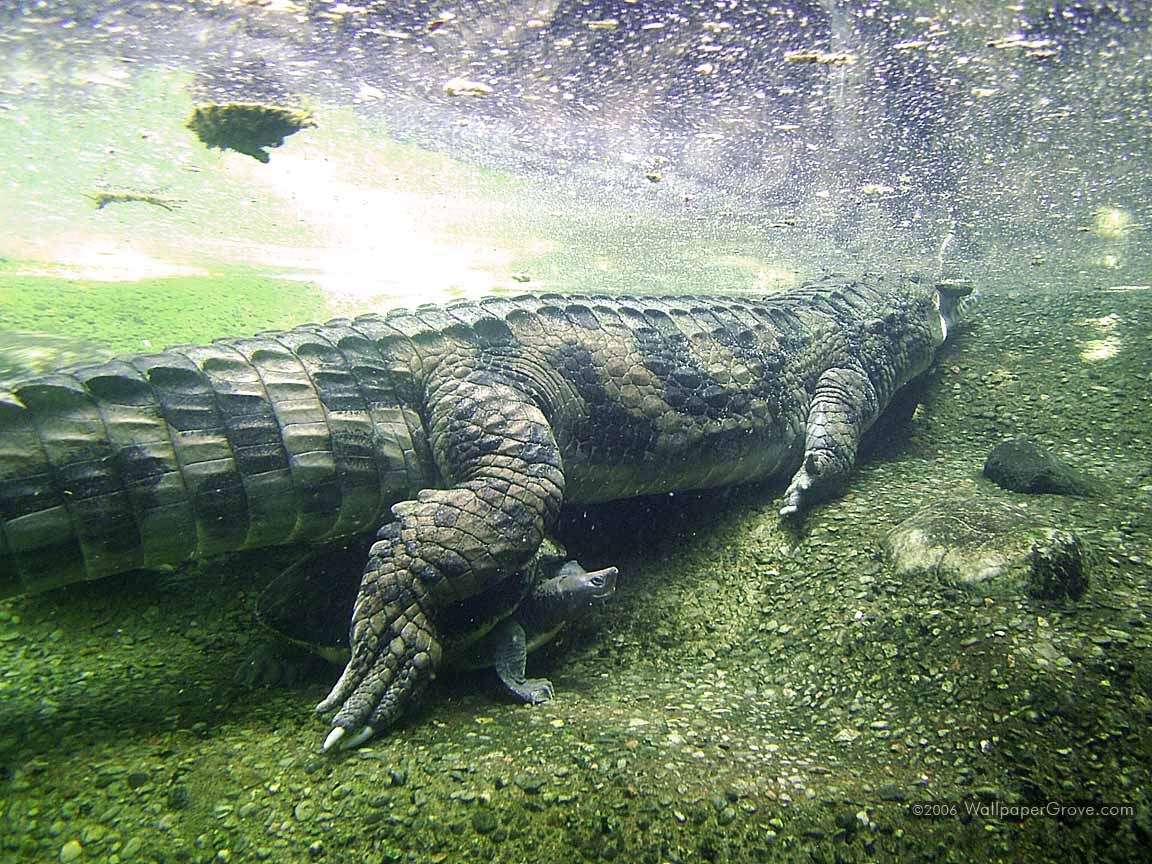 alligator wallpaper for home - photo #24