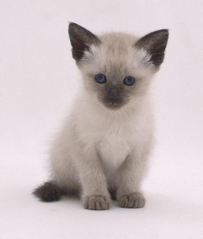 Siamese cats - Pets Cute and Docile