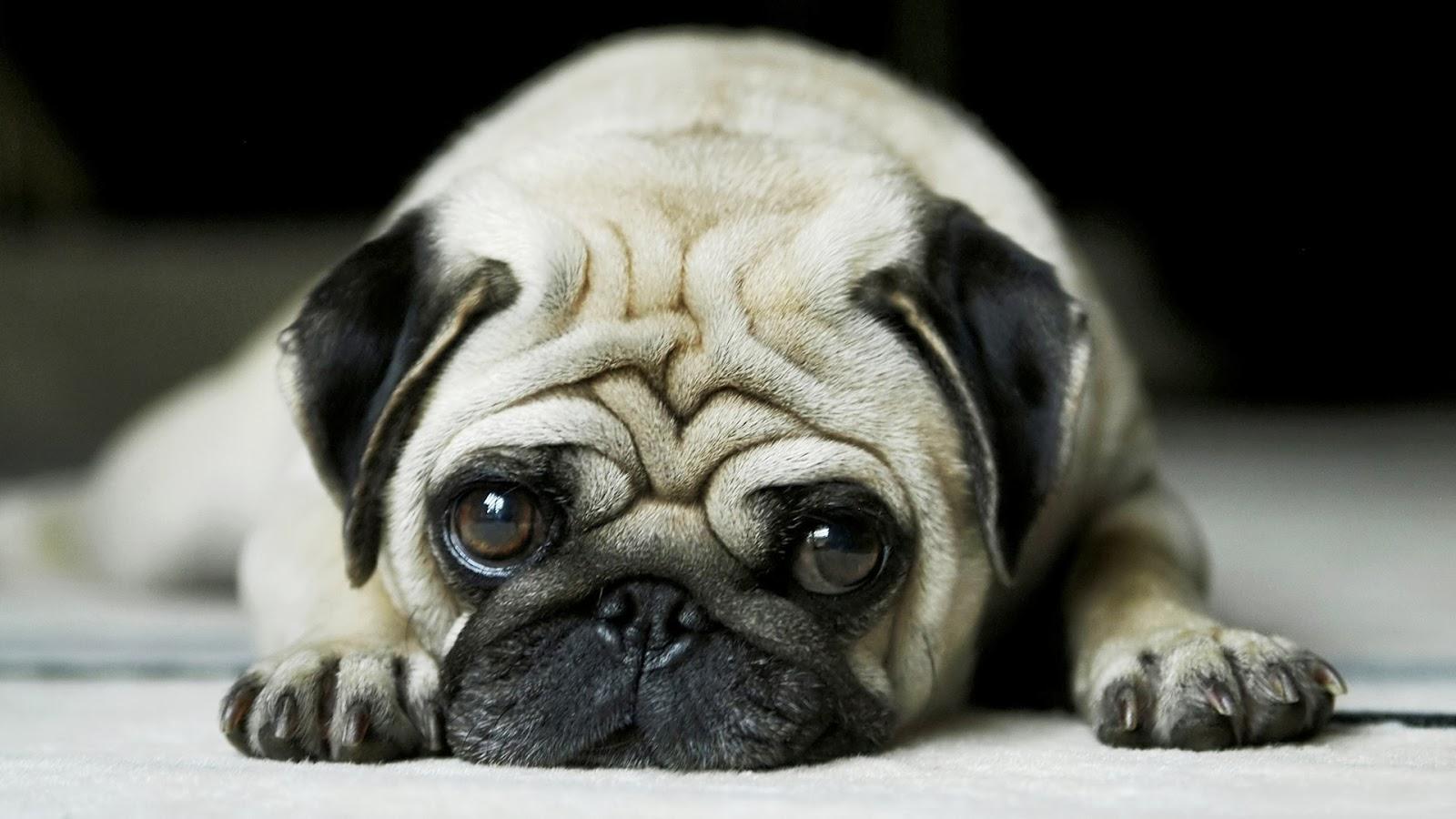"<img src=""http://4.bp.blogspot.com/-7zy_MXp27I8/UukntNzPEKI/AAAAAAAAKng/grcTS2W2lmU/s1600/pug-wallpaper.jpg"" alt=""pug wallpaper"" />"