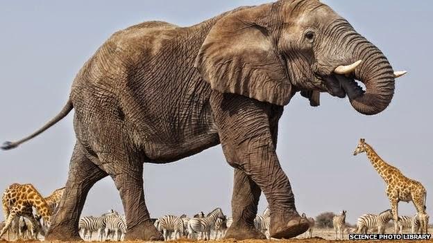 (( لماذا الفيل سمين رغم أنه نباتي؟ ))