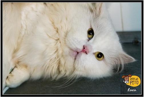 Loco, persa de 2 años en adopción