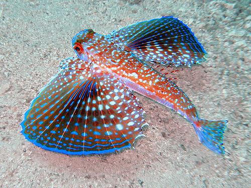 Artes de pesca vamos a pescar chicharra o golondrina de mar - Fotos de peces del mediterraneo ...