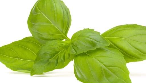 khasiat dan manfaat daun kemangi