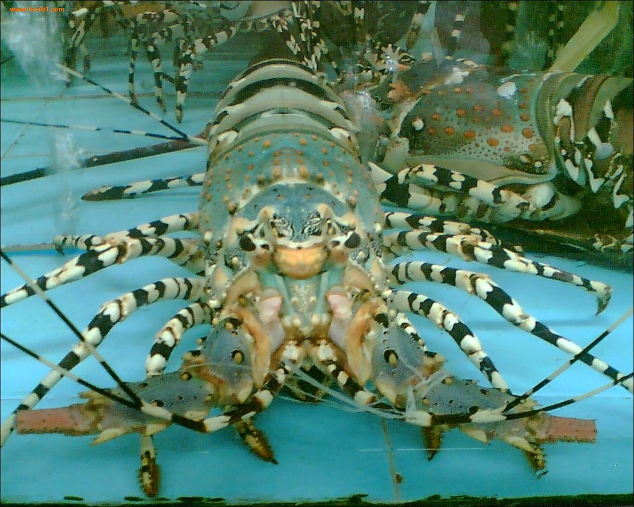 gambar lobster - gambar lobster
