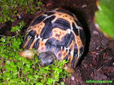 Astrochelys radiata - Tortuga radiada