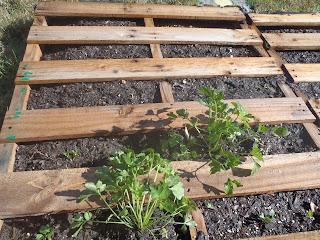 herbs pallet garden