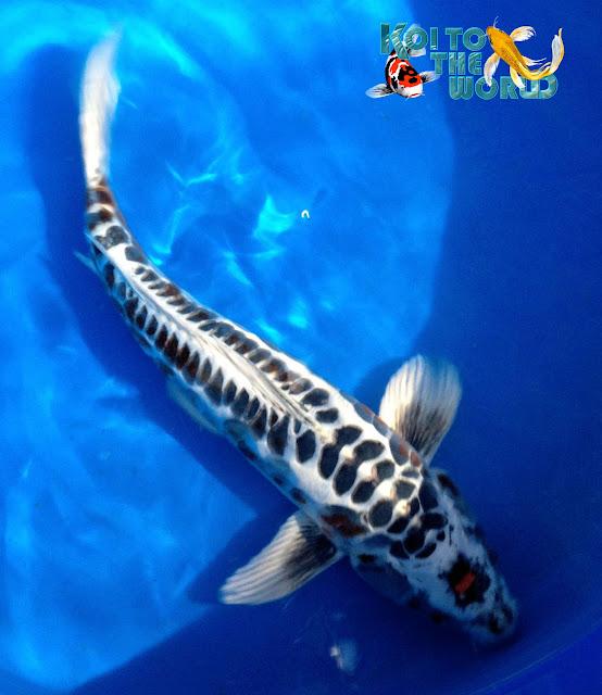 Koi to the world for Platinum koi fish