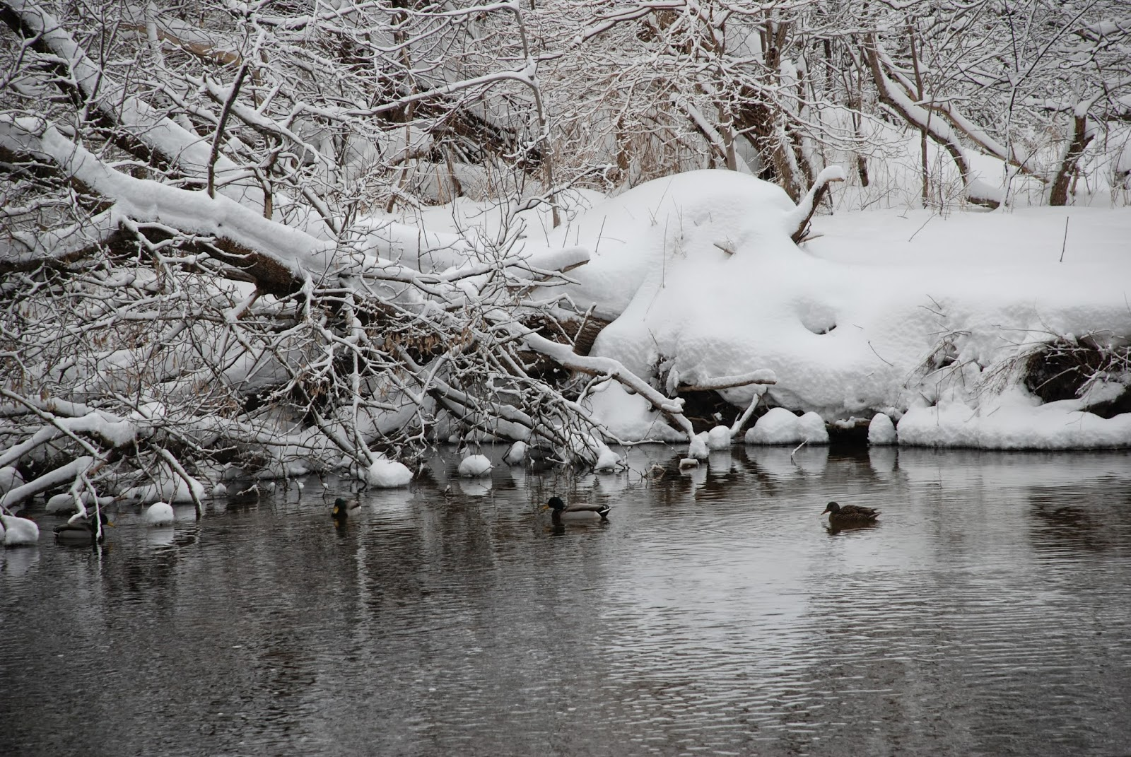 Ducks swimming on the Speed River in winter