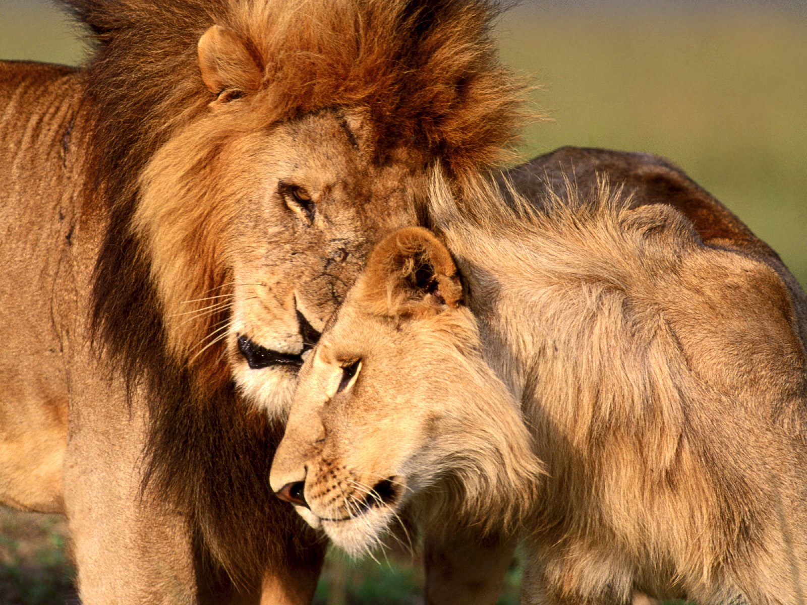 http://4.bp.blogspot.com/-81T5cX4GtPE/TdsNyR_b23I/AAAAAAAAAWo/Bavw6Wh5uw8/s1600/lion-affection-wallpapers_12835_1600x1200.jpg