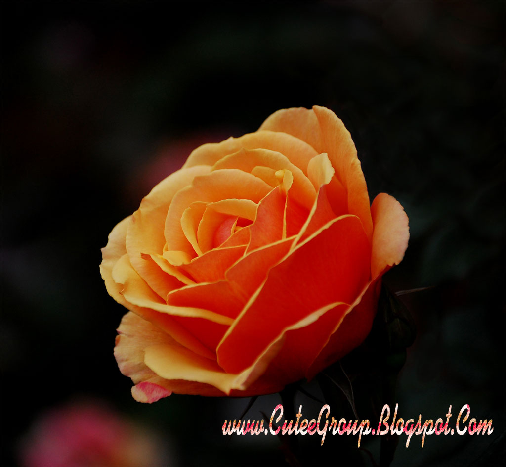 cute roses wallpapers the world of fun cutee group