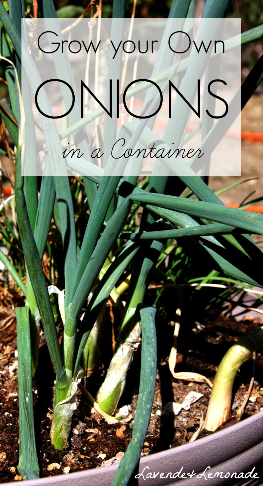 How to grow onions in containers!  | Lavende & Lemonade