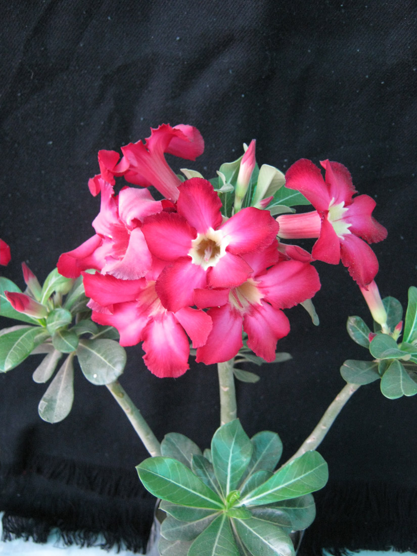 Bonsai Adenium Plant Adenium Adenium Plant Bonsai Plant