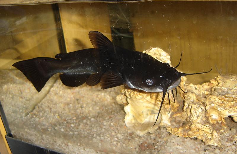 el gallipato alcublano pez gato