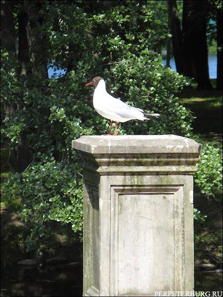 Чайка в Петербурге фото