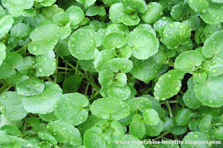 benefits_of_eating_watercress_fruits-vegetables-benefits.blogspot.com(3)