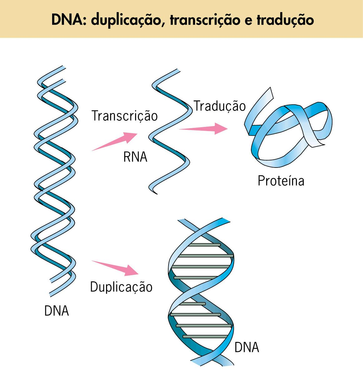 DNA And RNA Protein Synthesis Worksheet Answer Key furthermore DNA ...
