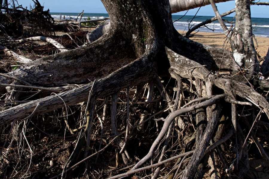 Roots of Terminalia catappa