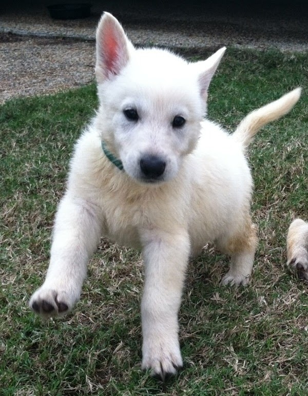 See more Nova, adorable white German Shepherd puppy ♥ http://cutepuppyanddog.blogspot.com/