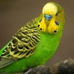 Maintaining Parakeets - 9 Tips on Buying a Parakeet Bird
