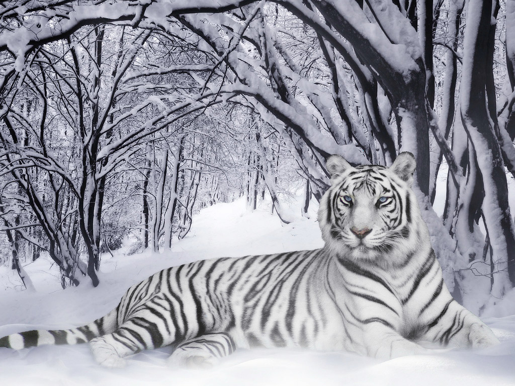 white tiger animal wallpaper - photo #7