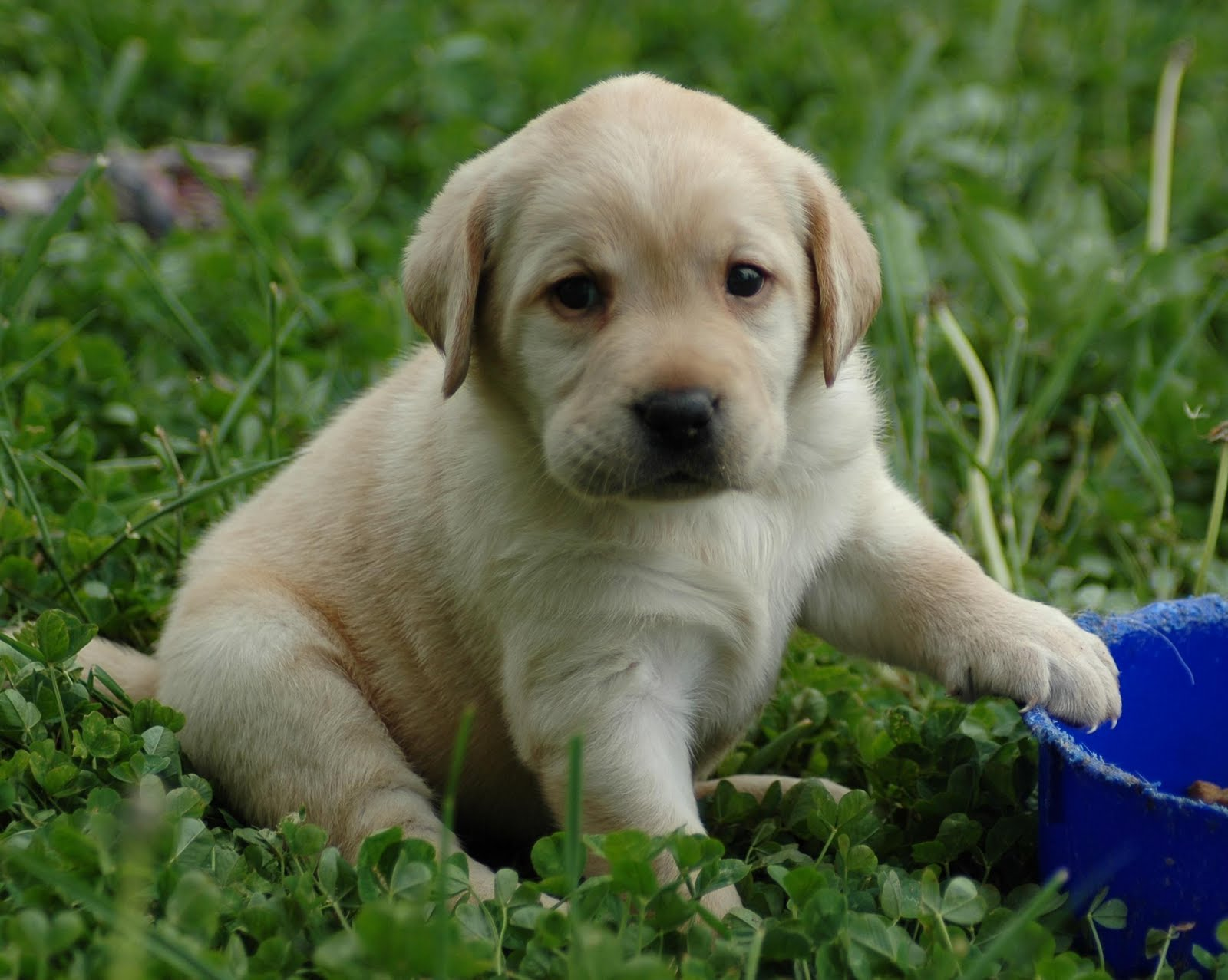 http://4.bp.blogspot.com/-83uJn5YAXiA/TlD2pxDqvPI/AAAAAAAAAoM/uOEmJDzZy6A/s1600/puppy-lab-HD-wallpaper.jpg