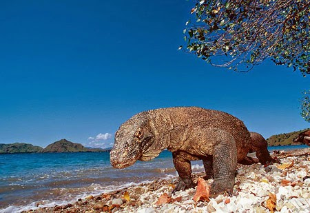 Komodo raksasa di pulau Komodo