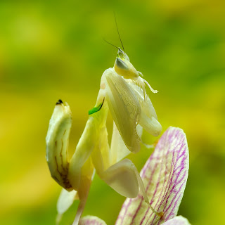 Orchid Mantis Hymenopus coronatus by Luc Viatour / www.Lucnix.be