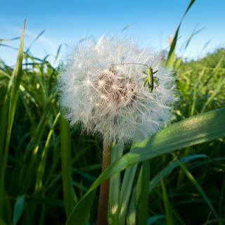 Dandelion and Grasshopper, 2011 © Graham Dew