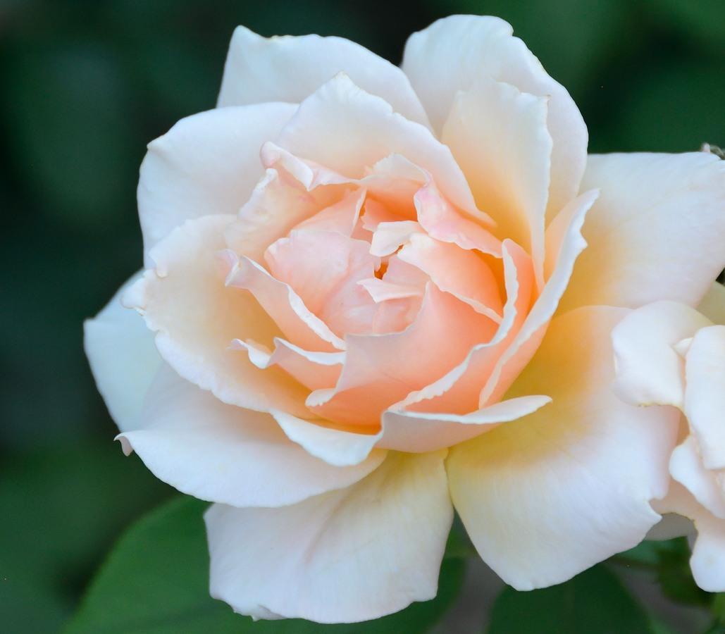 Yellow rose at Ritan park in Beijing