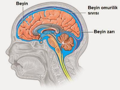 beyin omurilik sıvısı, bos, bel suyu