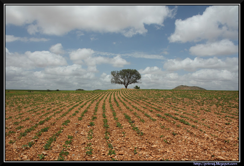 Tree in the groundnut field
