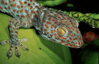 Gecko Tokay, gecko gecko