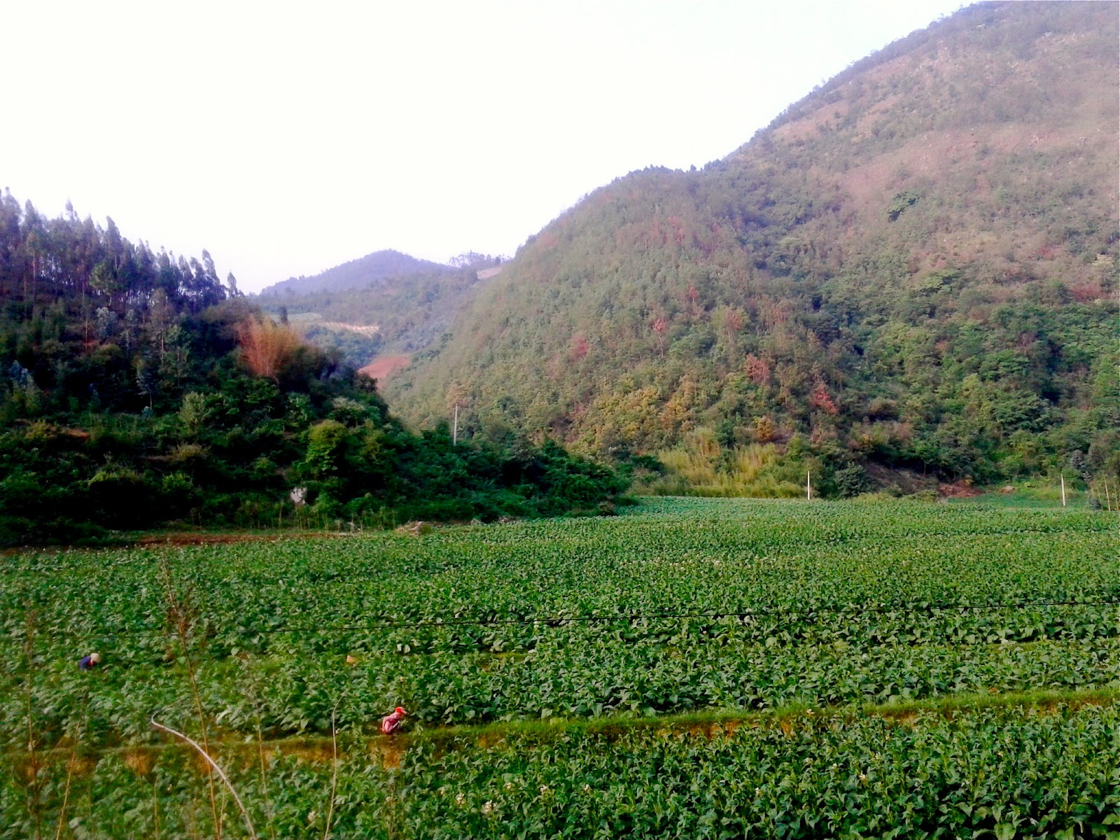 tobacco growing in honghe s mile county