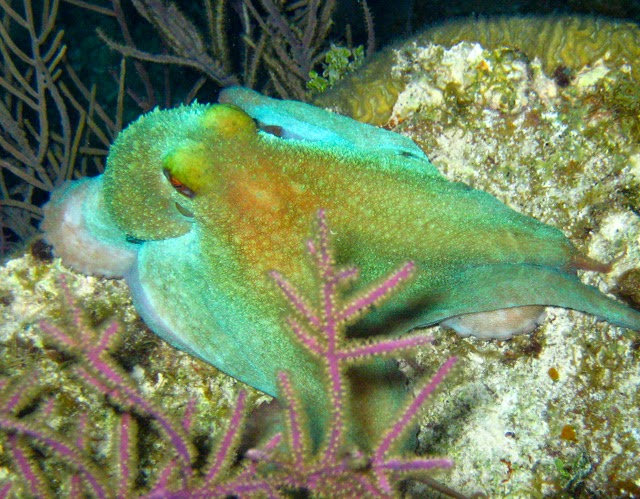 Summer on Little Cayman Island: Creature of the Day: The Caribbean ...