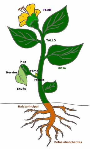 clases de hojas vegetales:
