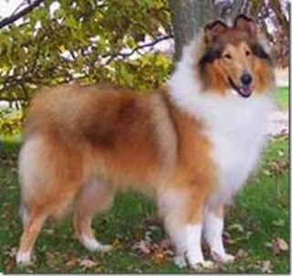 Hình 3: Giống chó Collies.