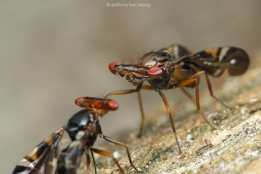 Themara maculipennis, confrontation