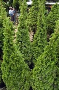 Jual Cemara pua-pua/natal | suplier tanaman | jasa desain taman | taman rumput | saung gazebo