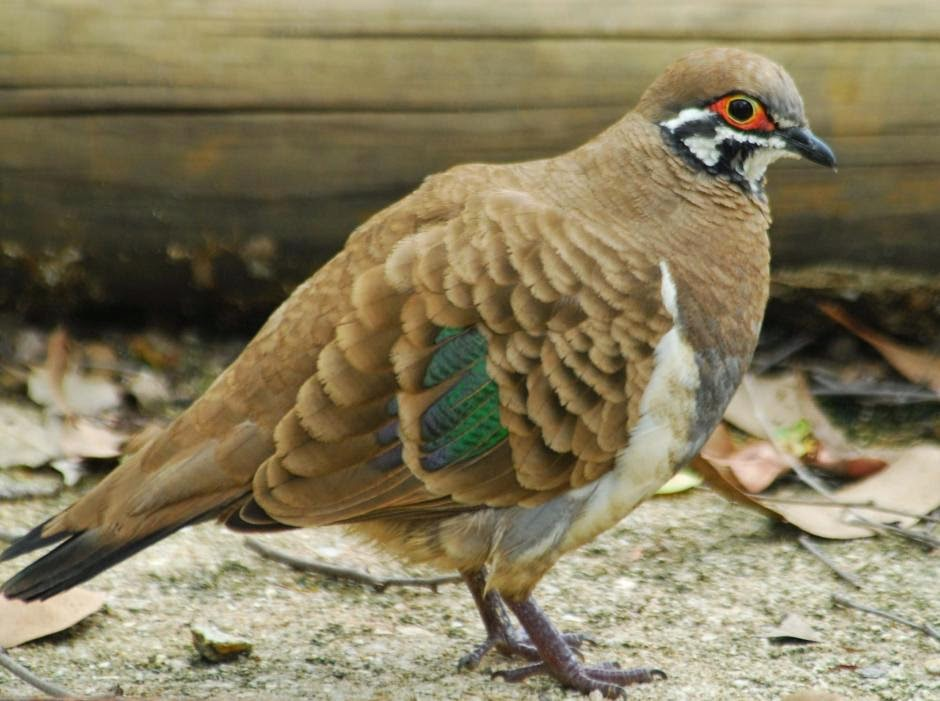 Squatter pigeon Geophaps scripta