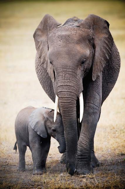 Hình ảnh đẹp về tình mẫu tử của mẹ con voi