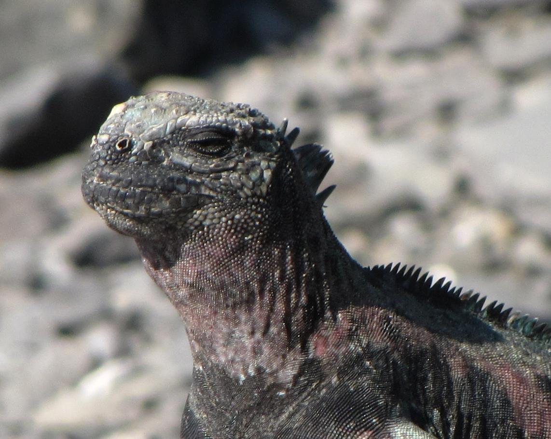 Galapagos Marine and Land Iguanas - Galápagos Eco Friendly: The Blog