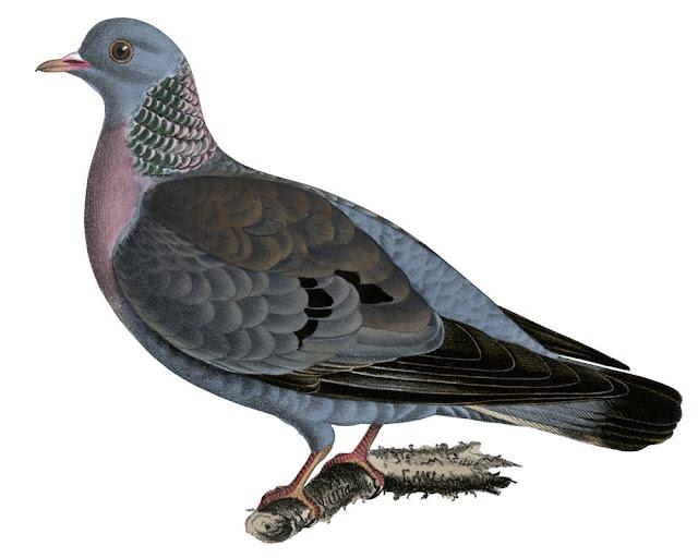 Fotos de palomas mensajeras de colores 50