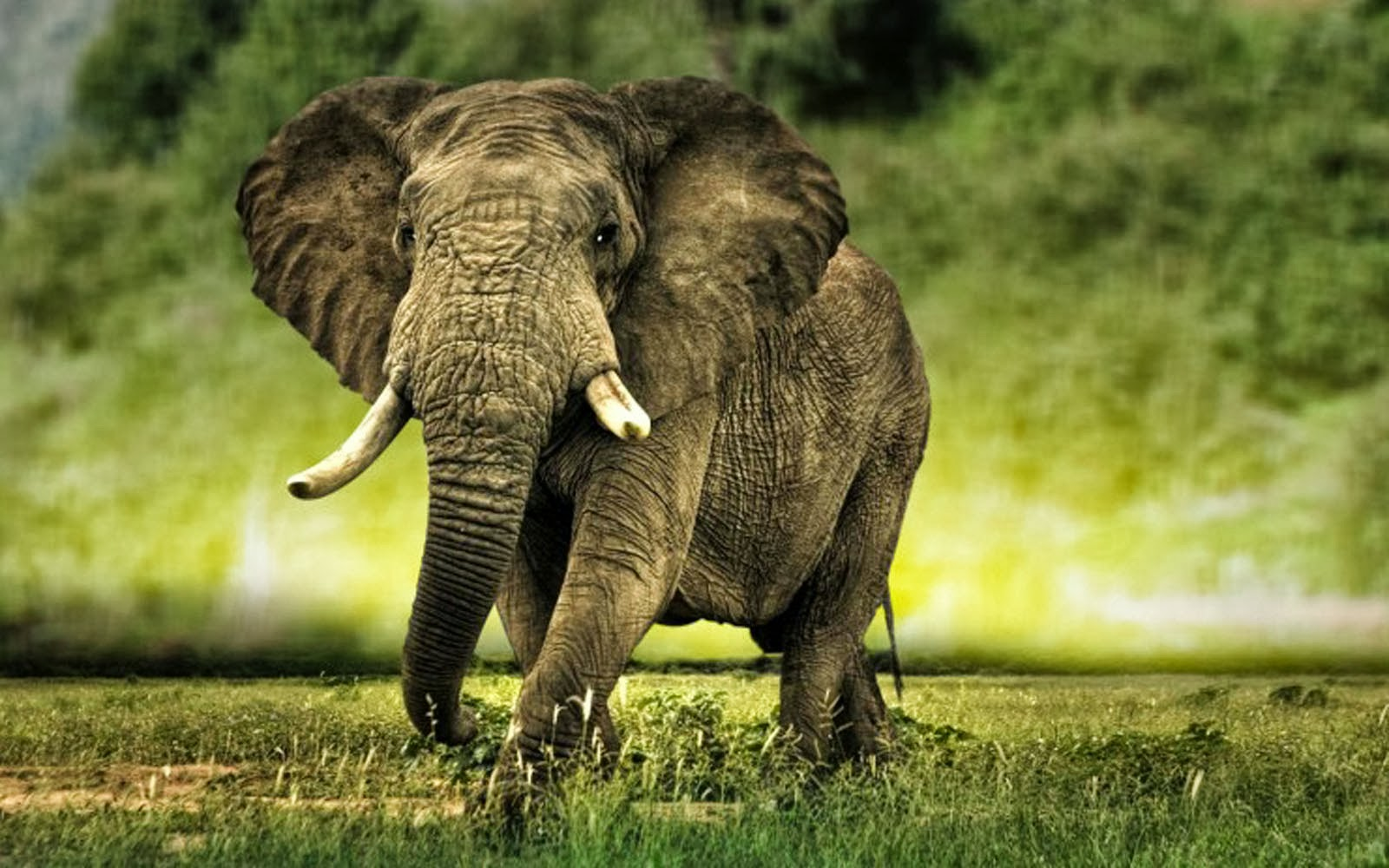 African Elephant Wallp...