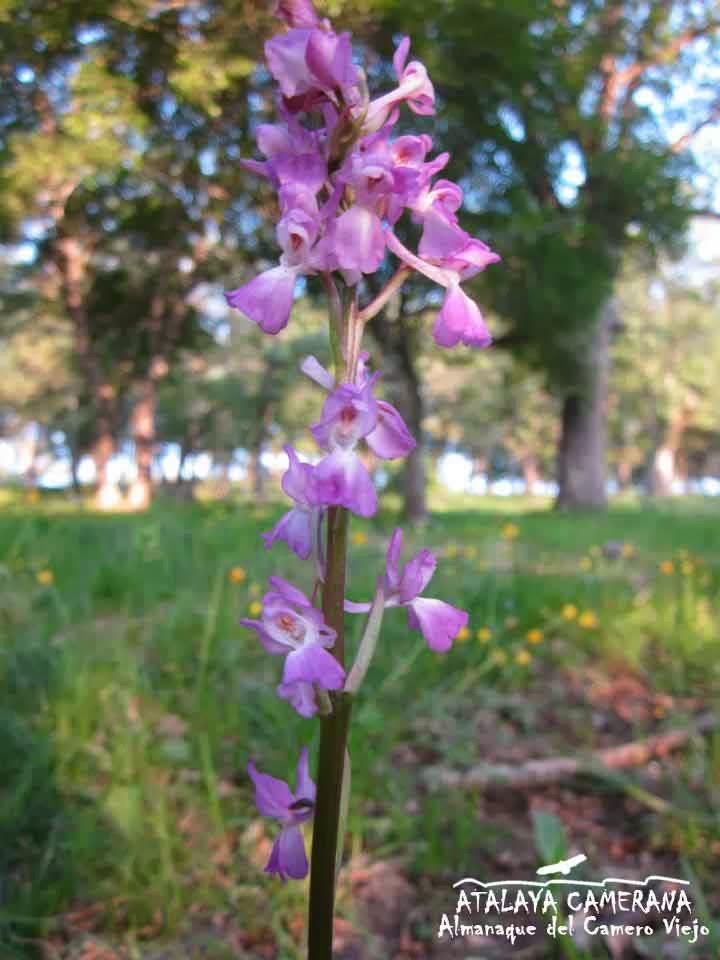 Sierra del Camero Viejo: Orquídeas Silvestres