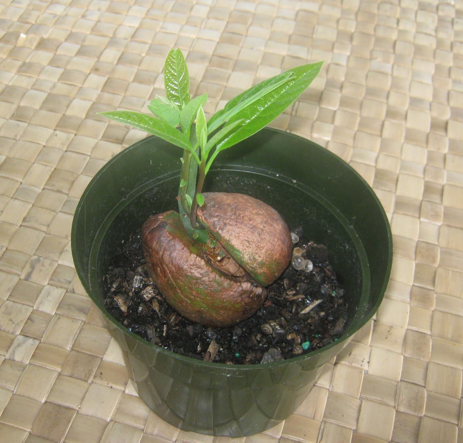 Выращиваем инжир из семян в домашних условиях 3