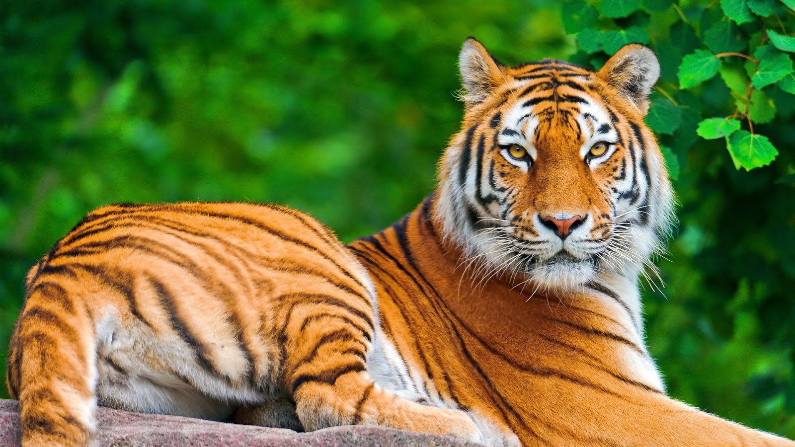 10 amazing animals tiger hd wallpapers | explore wallpaper