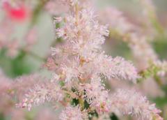 ✿ Fleur du mois : Astilbe
