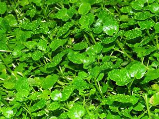Close-up of watercress